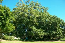 Oak : Quercus robur