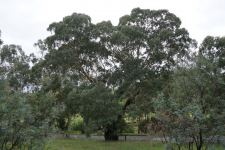 Box - Yellow : Eucalyptus melliodora