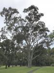 Gum - Spotted Northern : Corymbia variegata