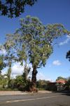 Blue Gum - South Australian : Eucalyptus leucoxylon leucoxylon