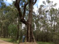 Apple - Rough-barked : Angophora floribunda