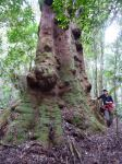 Blackbutt - New Engand  : Eucalyptus campanulata