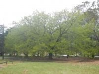 Oak - Swamp Chestnut : Quercus michauxii